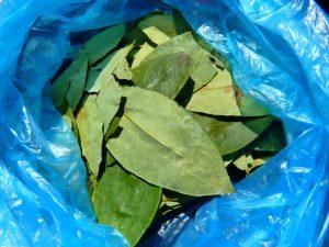 Alcaloïde : feuille de coca