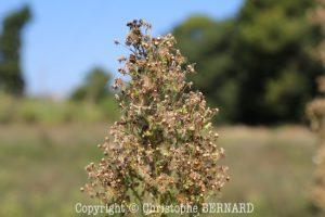 Vergerette du Canada (Erigeron canadensis)