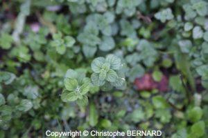 Calament (Clinopodium nepeta)