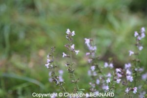 Calament (Clinopodium nepeta)