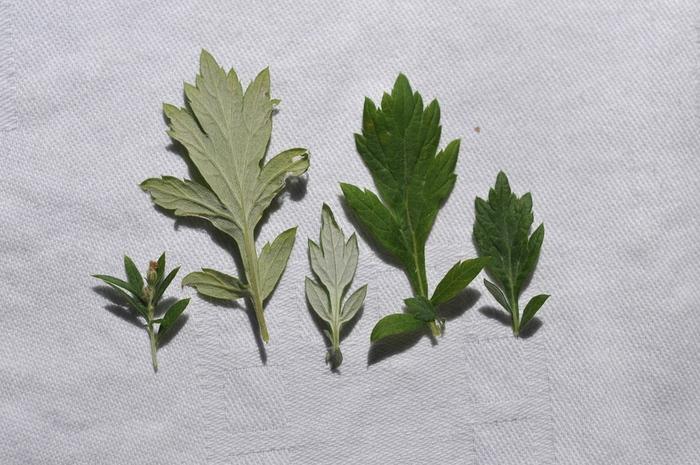 Comparaison armoise commune et verlotiorum