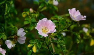 histoire-des-plantes-resine-roses-eglantier