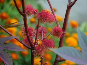 Huile de ricin (Ricinus communis)