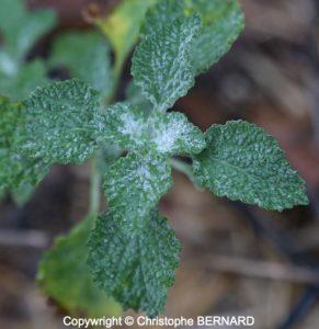 Marrube (Marrubium vulgare)