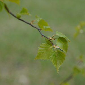 Bouleau : feuilles, écorce et sève