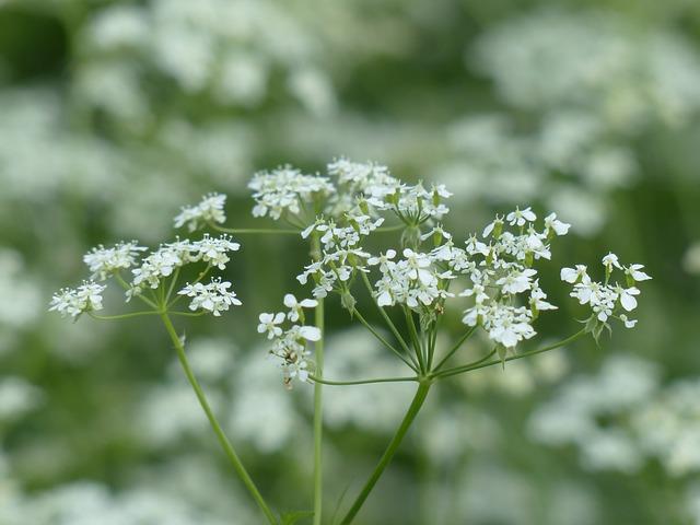 Persil en fleur