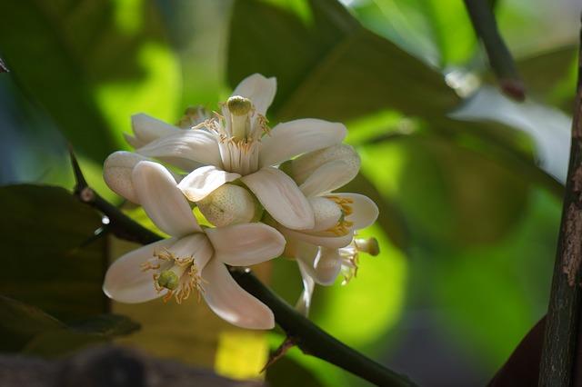 Aider un enfant à se calmer : fleur d'oranger