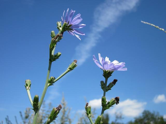 Tige fleurie de chicorée