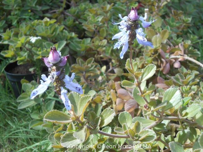 Gros thym (Plectranthus amboinicus)