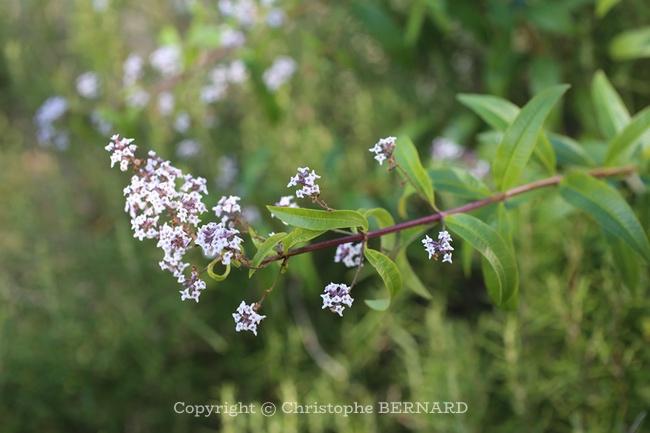 Fleurs de verveine citronnelle