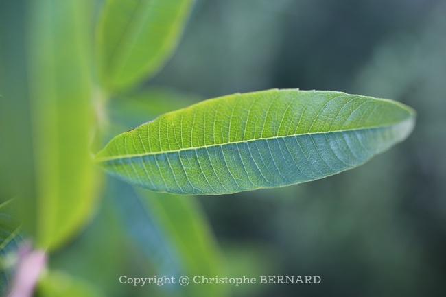 Feuilles de verveine citronnelle
