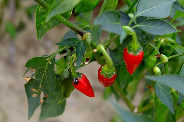 Bienfaits du piment au jardin