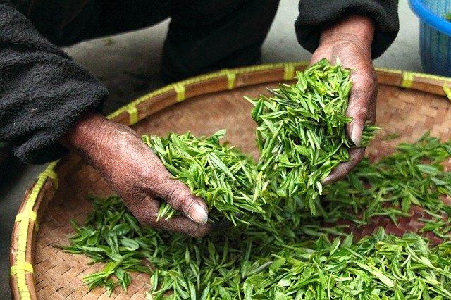 Thé vert (livre Vous êtes fous d'avaler ça)