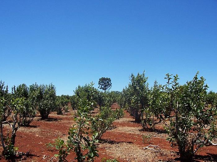 Plantations de yerba mate