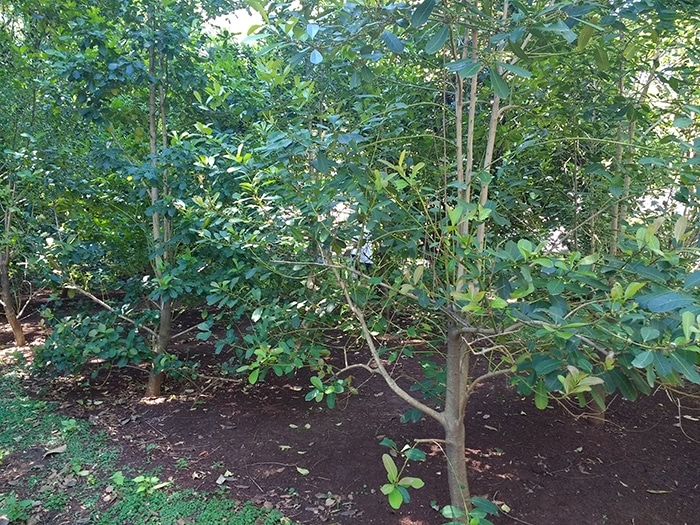 Le yerba maté, l'arbre