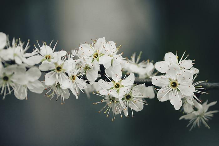 Fleurs du prunellier