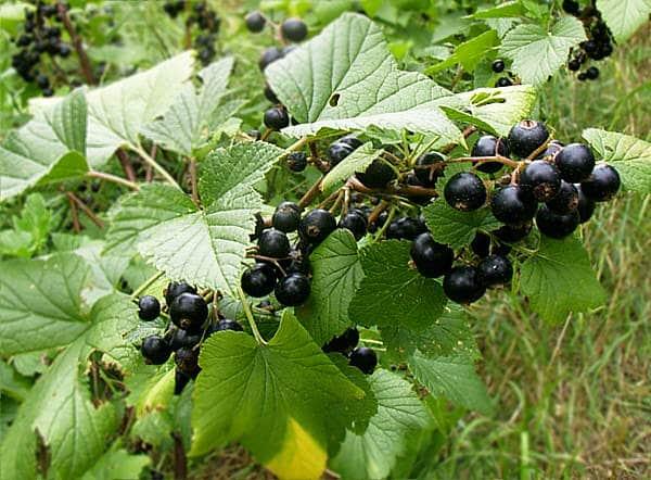 Bienfaits du cassis : les feuilles et les fruits