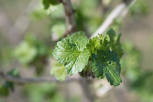 Bienfaits du cassis au travers de ses feuilles