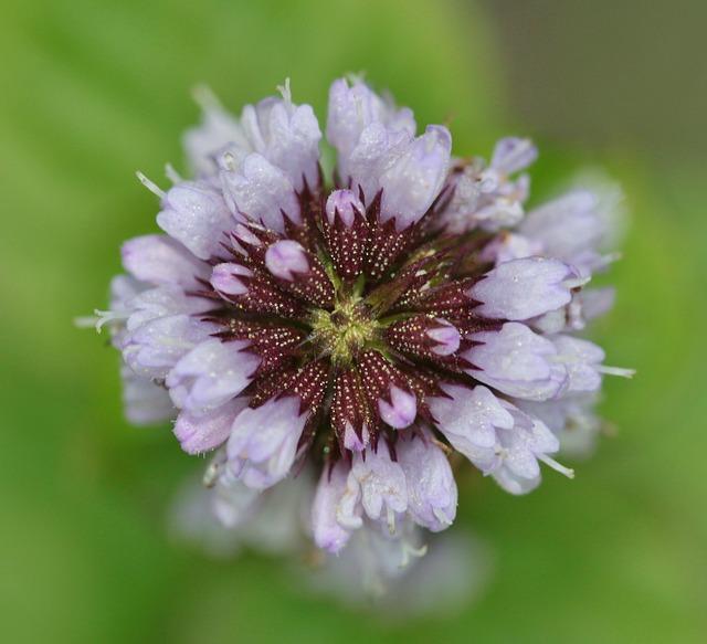 basilic fleur