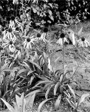 Renforcer le système immunitaire avec l'échinacée: echinacea angustifolia