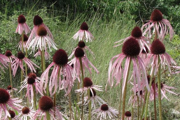 Renforcer le système immunitaire avec l'échinacée: echinacea pallida