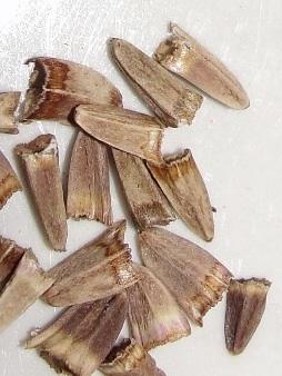 Renforcer le système immunitaire avec l'échinacée: graines d'Echinacea pallida
