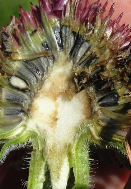 Renforcer le système immunitaire avec l'échinacée