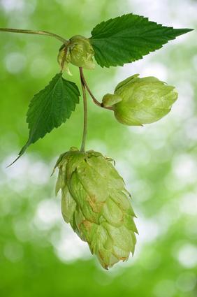 Insomnie et Plantes Médicinales : Houblon (Humulus lupulus)