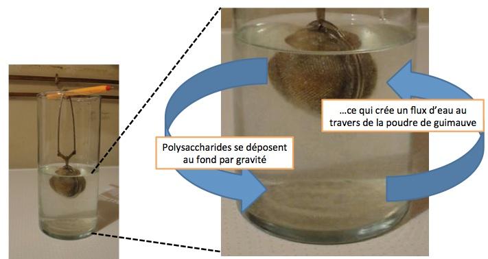 infuser la racine de guimauve