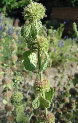 L'art perdu de la cure dépurative : le marrube (Marrubium vulgare)