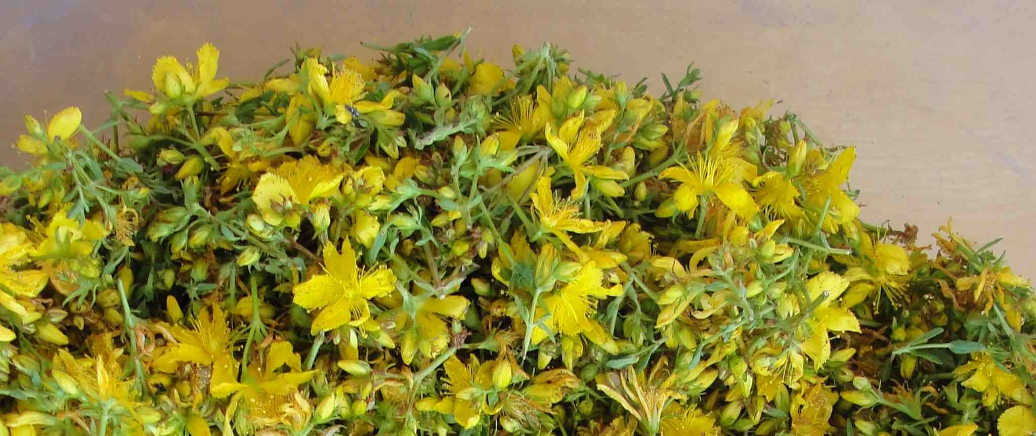 Millepertuis (Hypericum perforatum) - Photo AltheaProvence
