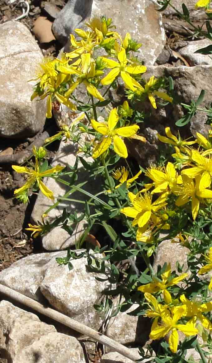 Millepertuis (Hypericum perforatum) - Photo AltheaProvence