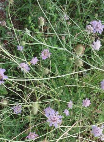 L'art perdu de la cure dépurative : la scabieuse (Scabiosa columbaria)